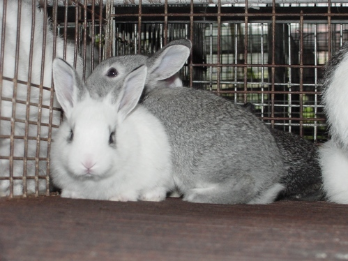 criaco-coelho-portal-agropecuario
