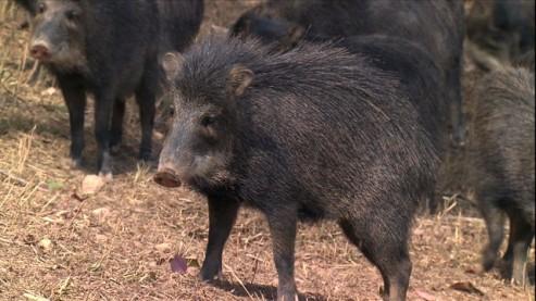 porco-do-mato-10