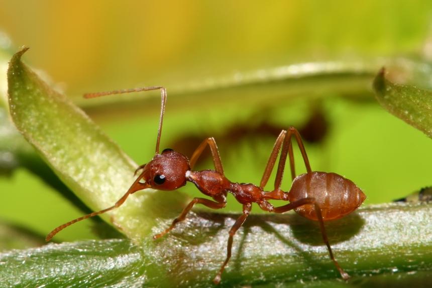 red_weaver_ant_oecophylla_longinoda