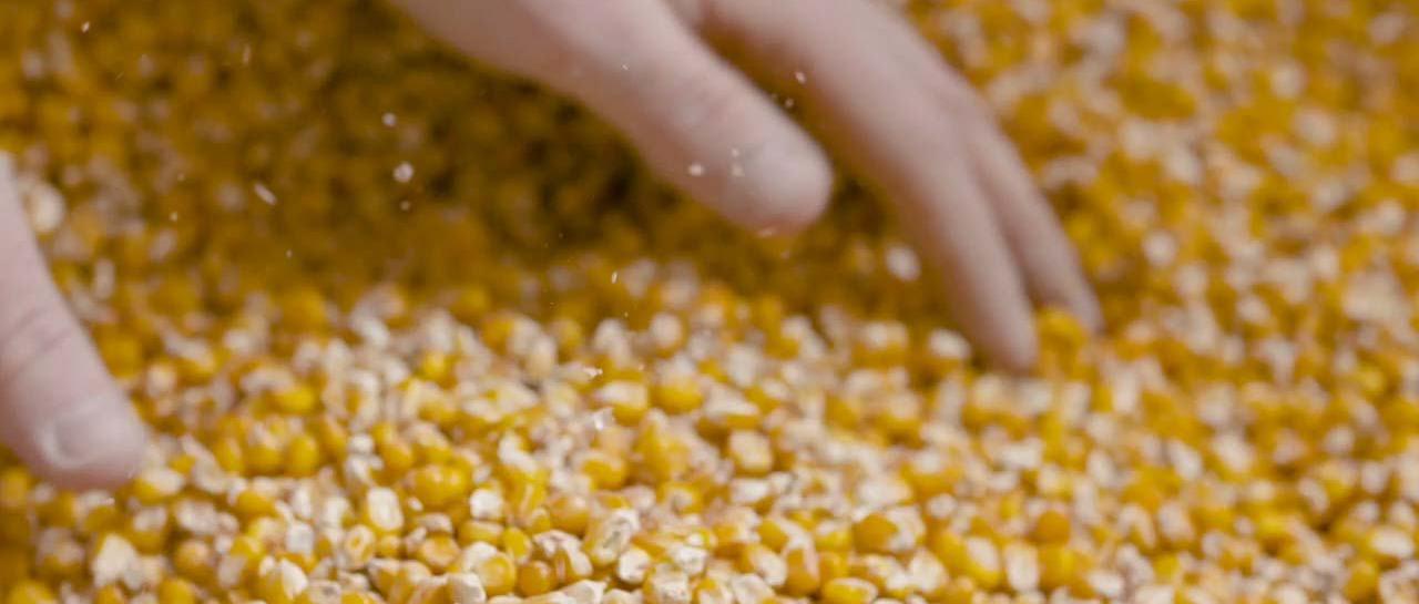 Sobrevivencialismo rural: Milho