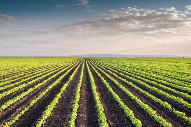 soyfields